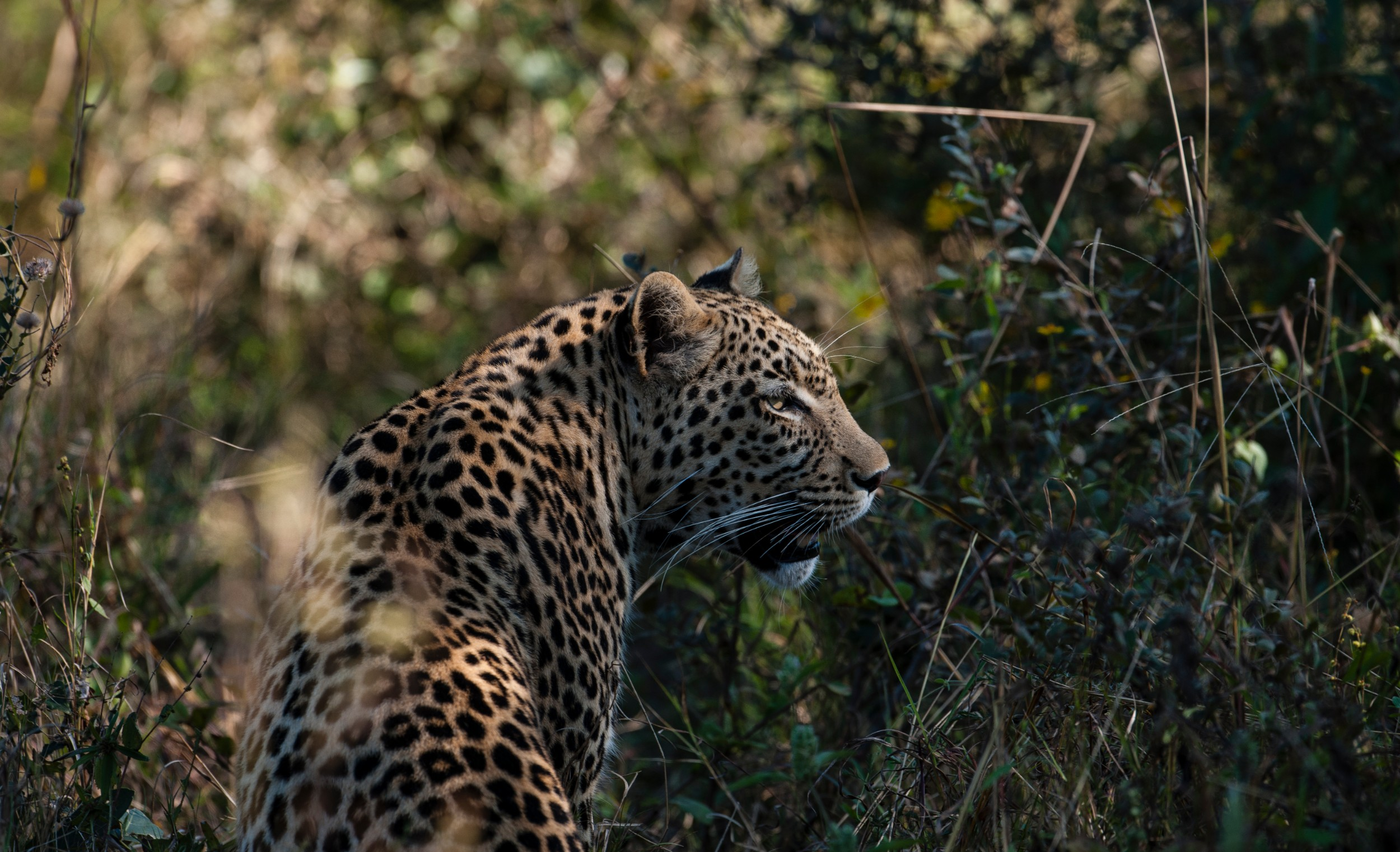 20The Jackal and Hide - Leopard.jpg