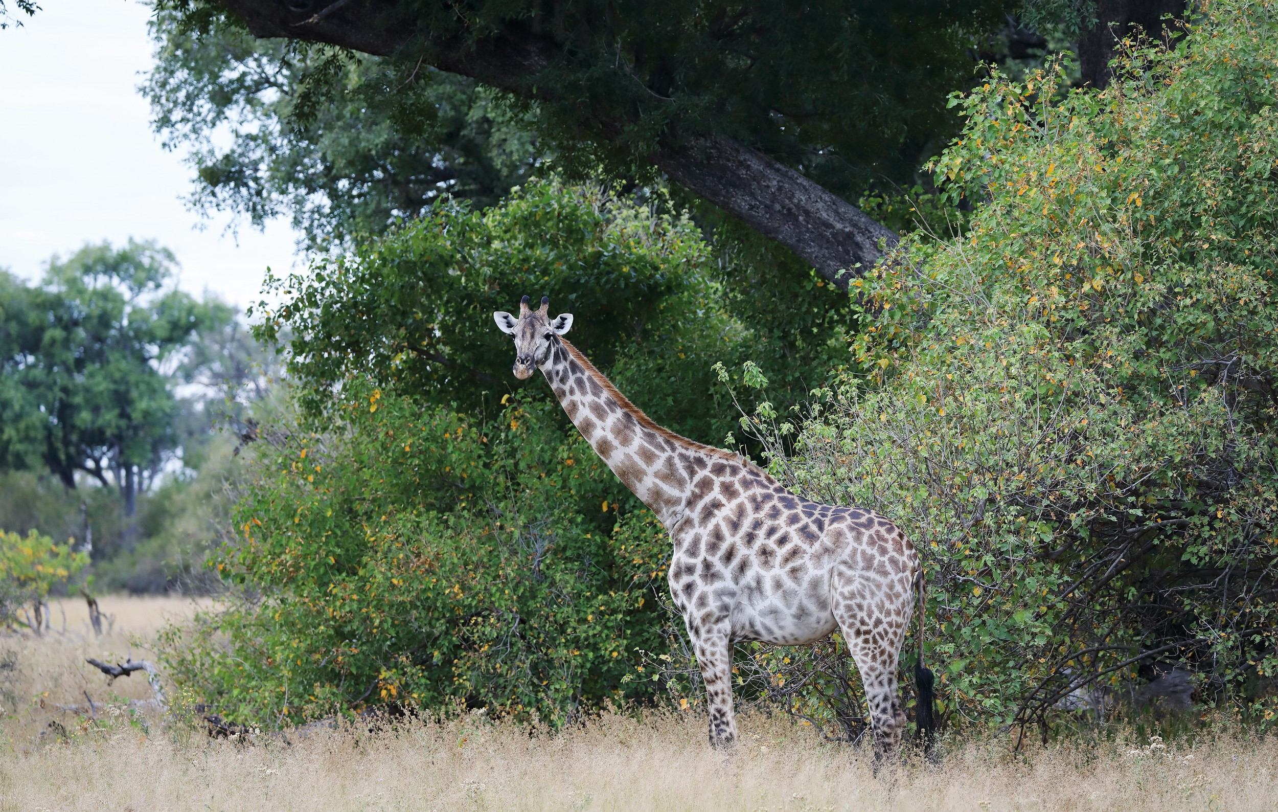 21The Jackal and Hide - Giraffe in the bush.jpg