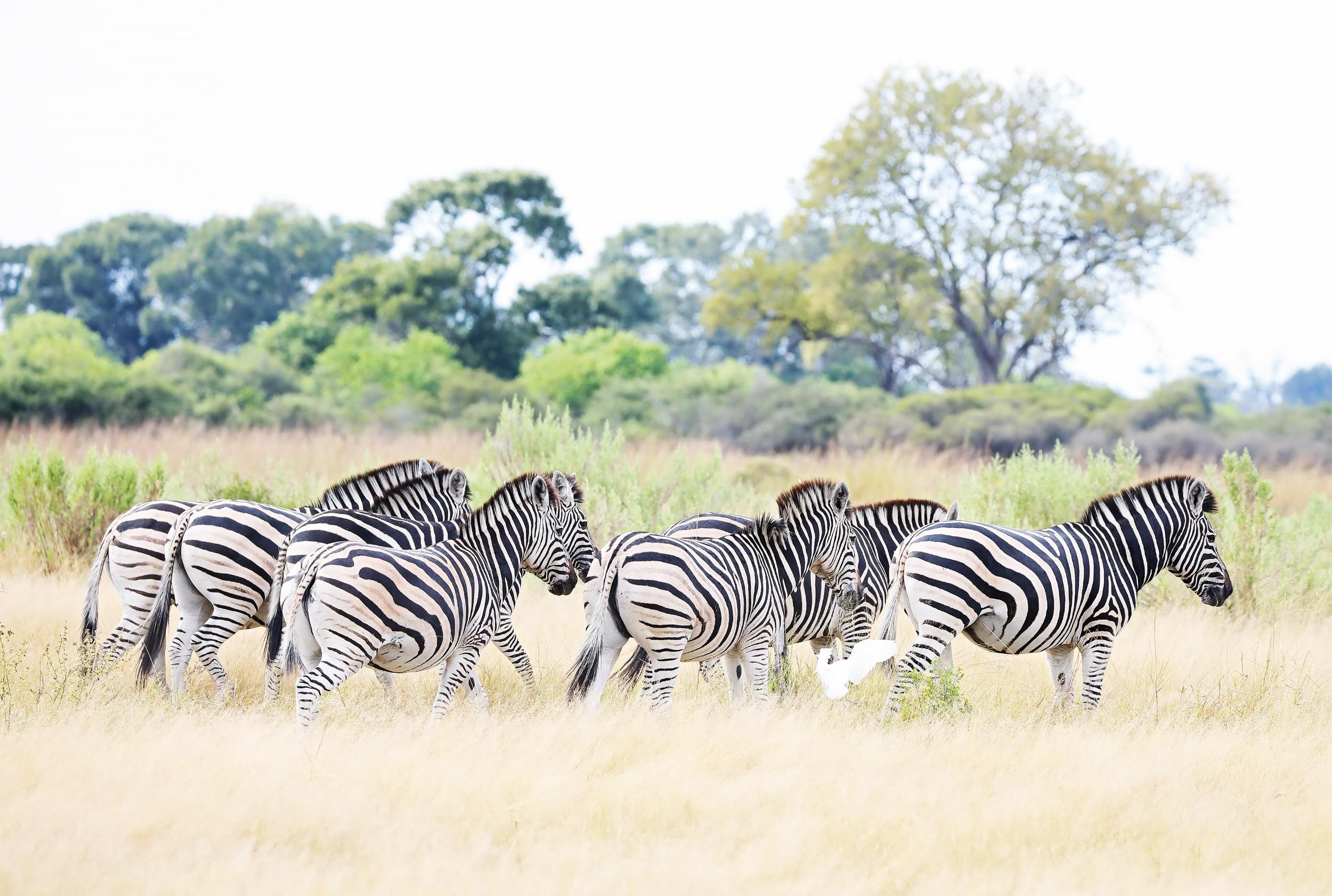 25The Jackal and Hide - Zebra.jpg
