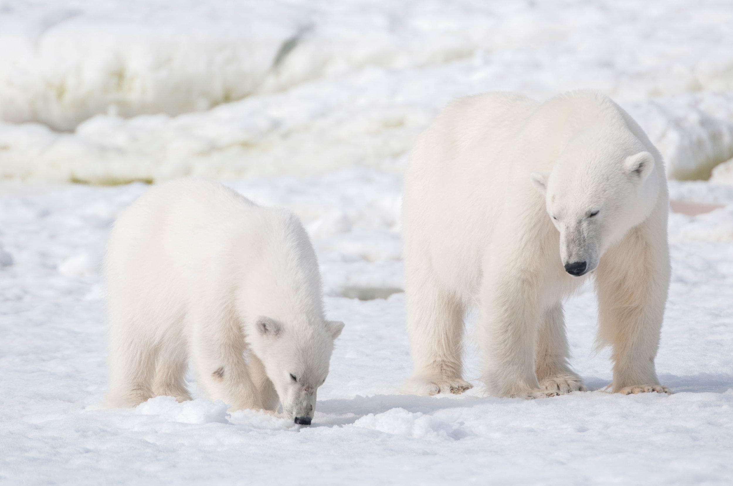 arctic-polarbears-sallyhamna-spitsbergen-plancius-©-Josh-Harrison.jpg_Josh-Harrison.jpg