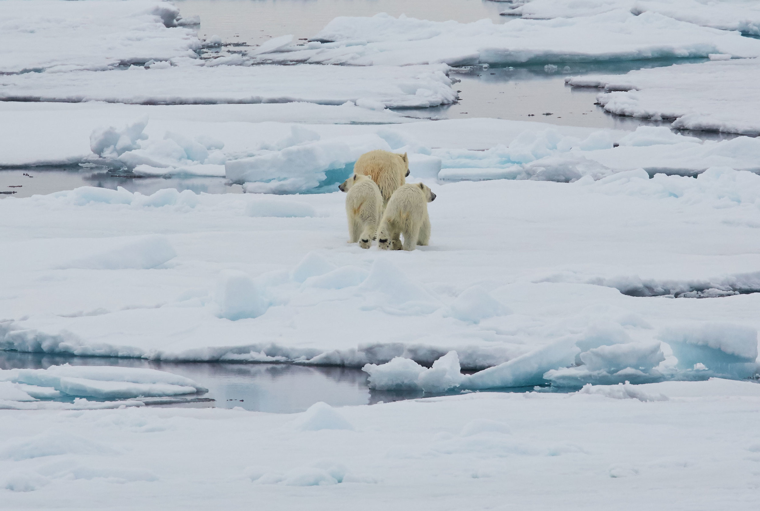 North-Spitsbergen-Polar-Bear-Special,-June-©-Markus-Eichenberger-Oceanwide-Expeditions-(60).jpg_Markus-Eichenberger.jpg