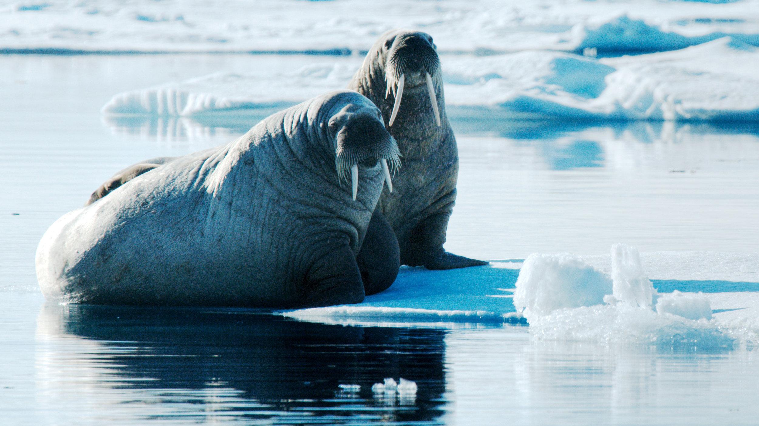 spitsbergen_walrus-(c)-Petr-Slavik-3.jpg_Petr-Slavik.jpg