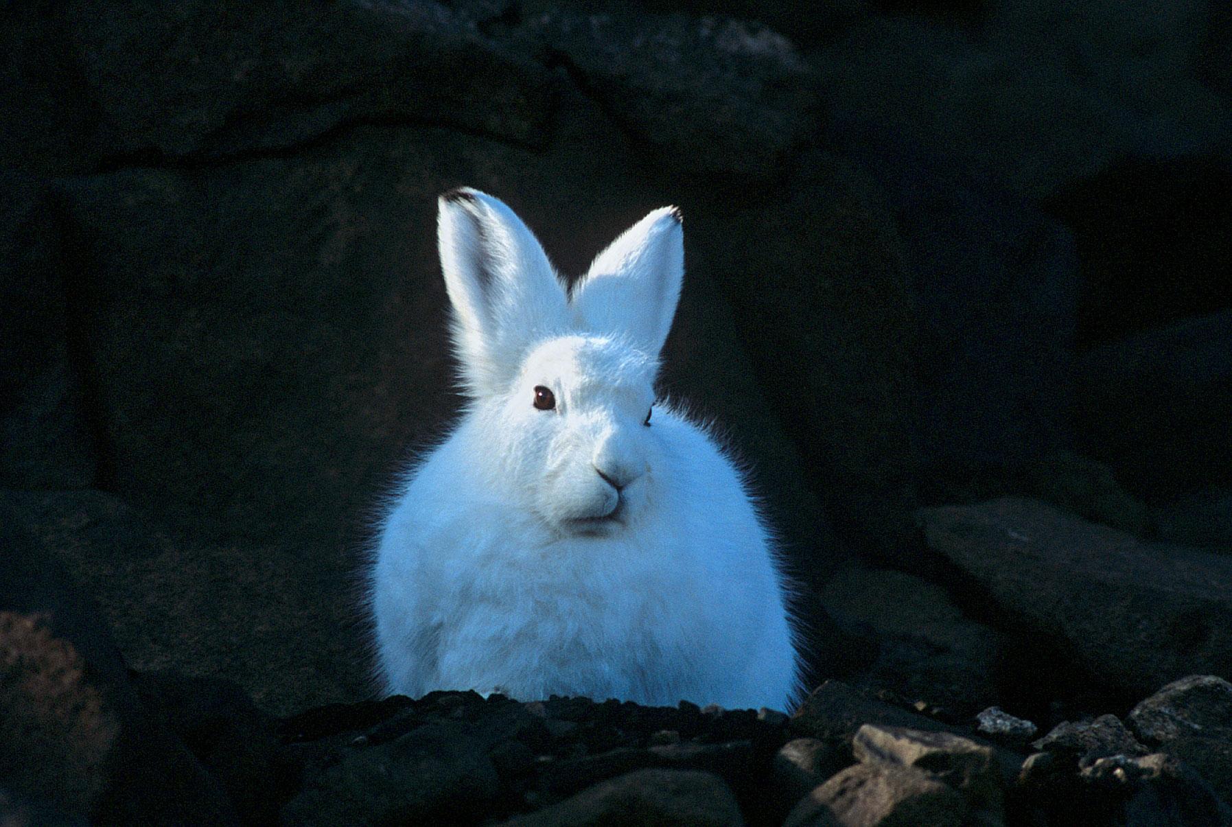 Arctic-Hare_Rinie-van-Meurs.jpg