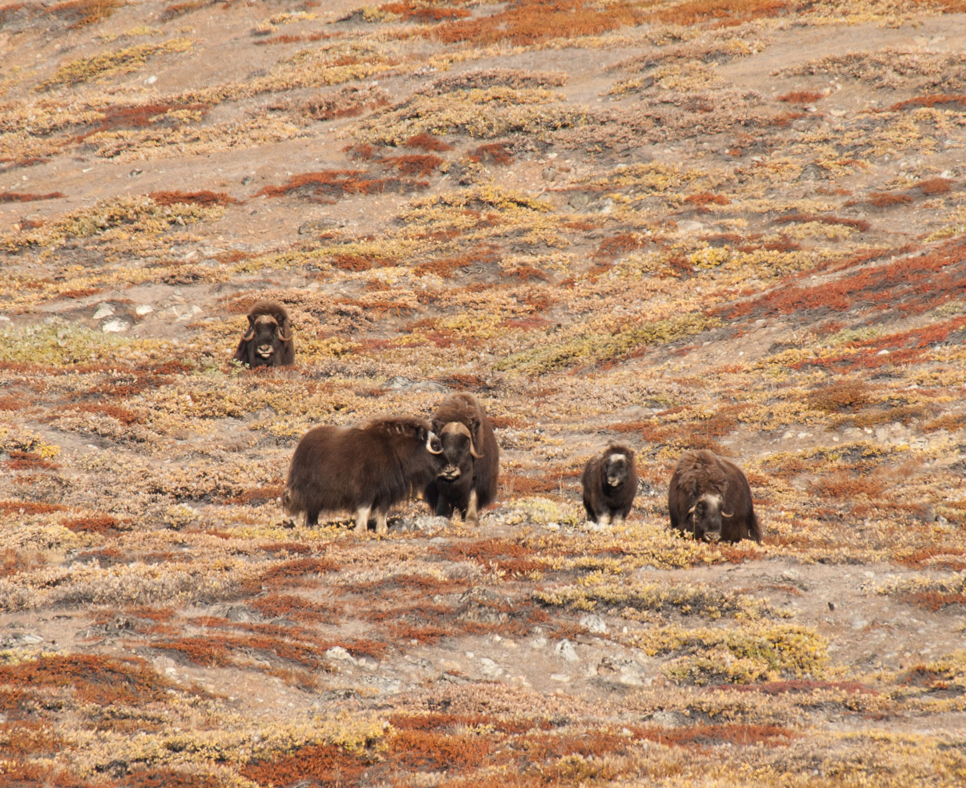 Small-herd-of-Musk-Oxen_Erwin-Vermeulen.jpg