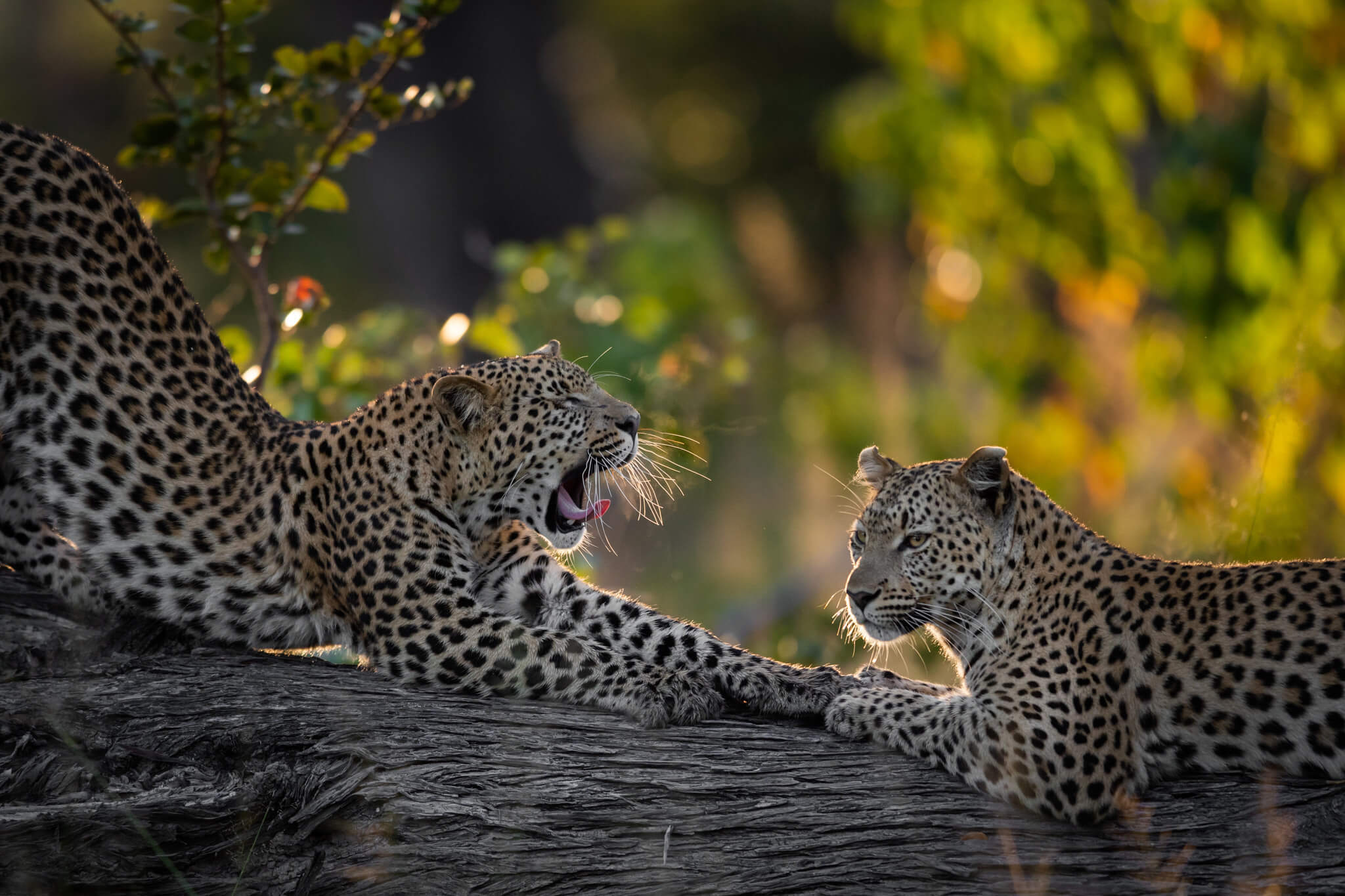 23Tuludi - Leopard sightings.jpg