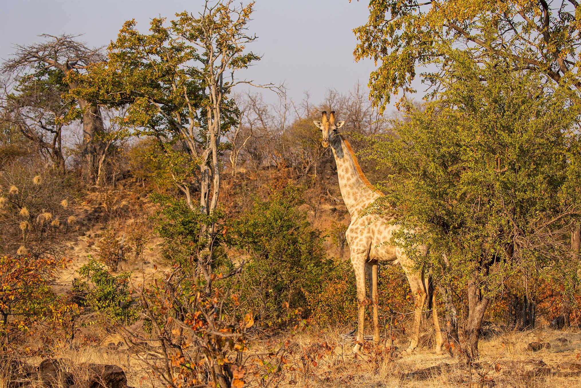 GPZimbabwe-MpalaJena-WildlifeGiraffe.jpg