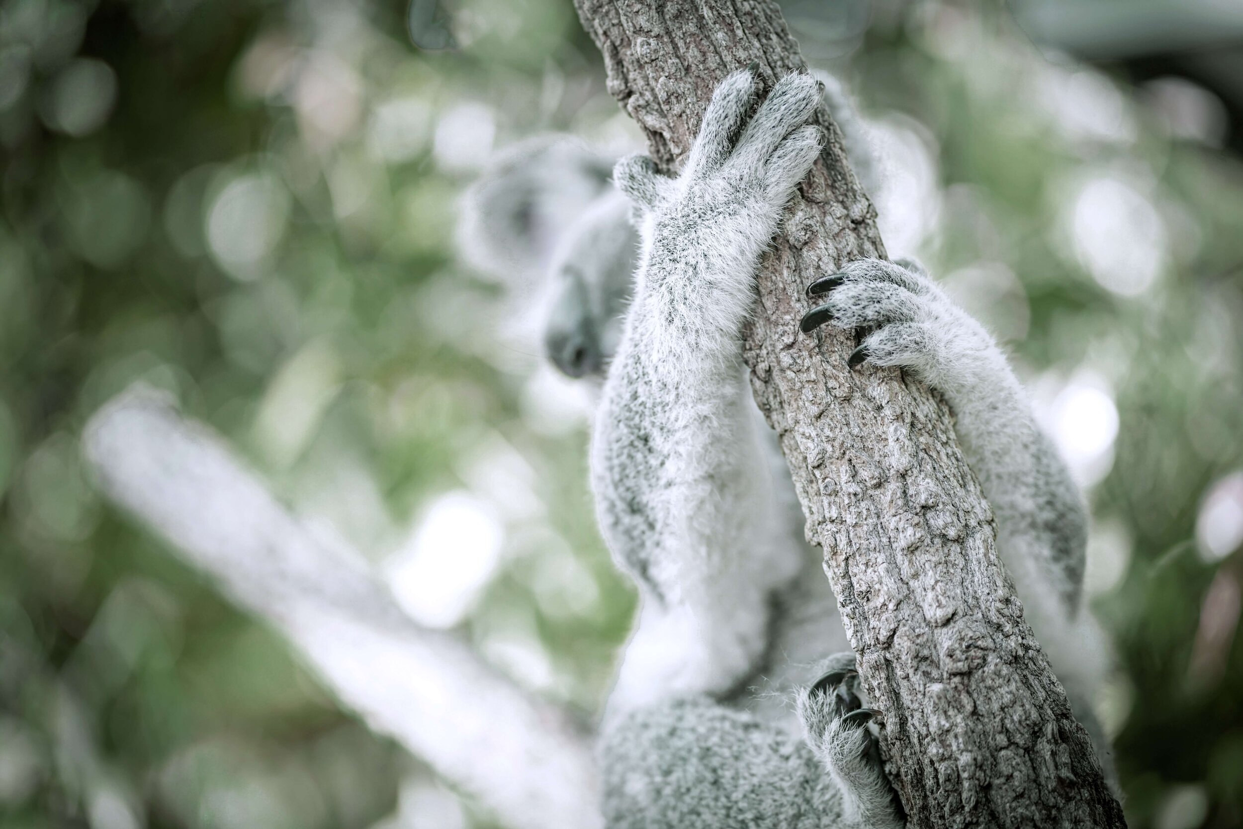 koala - 2.jpg