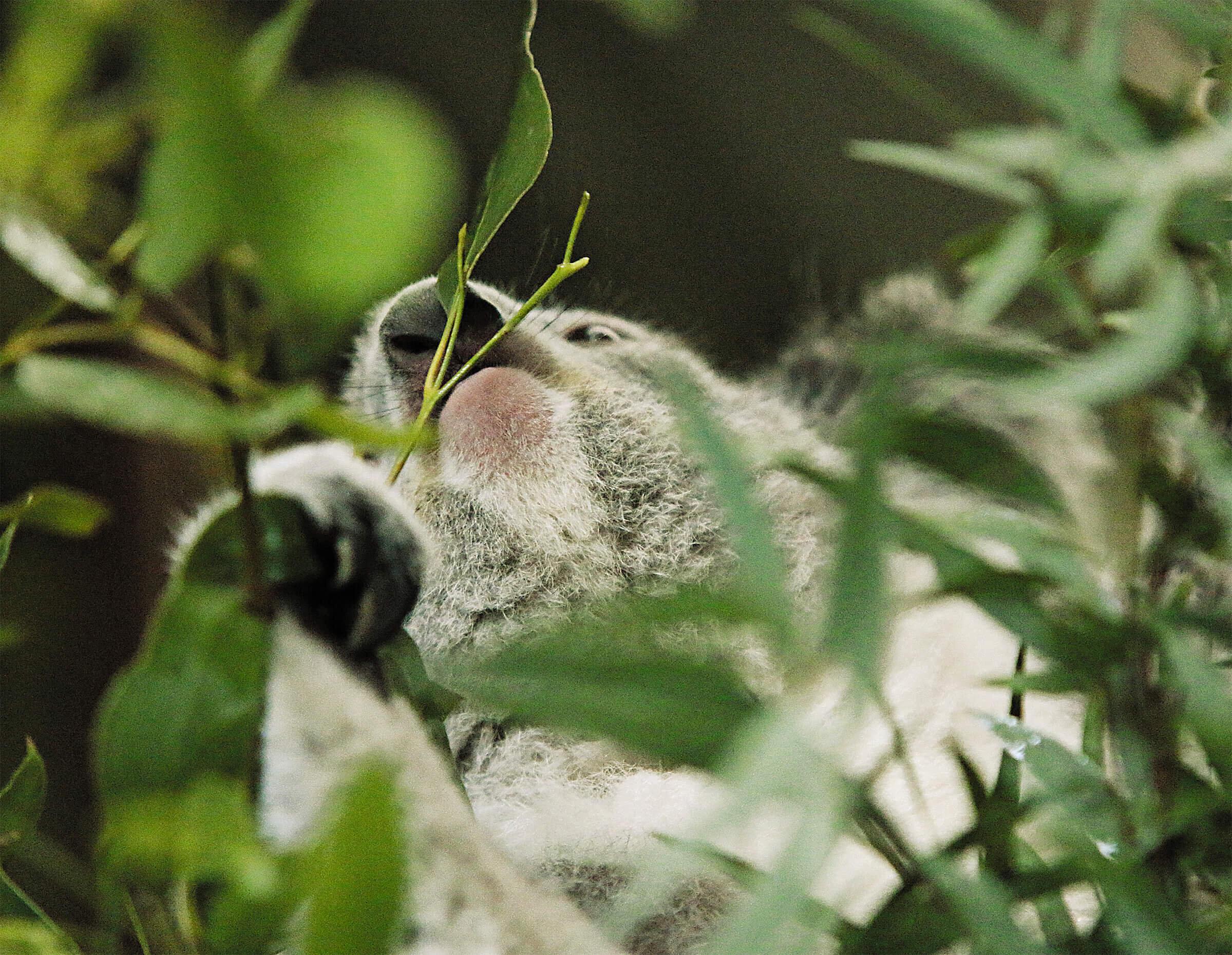 koala - 3.jpg
