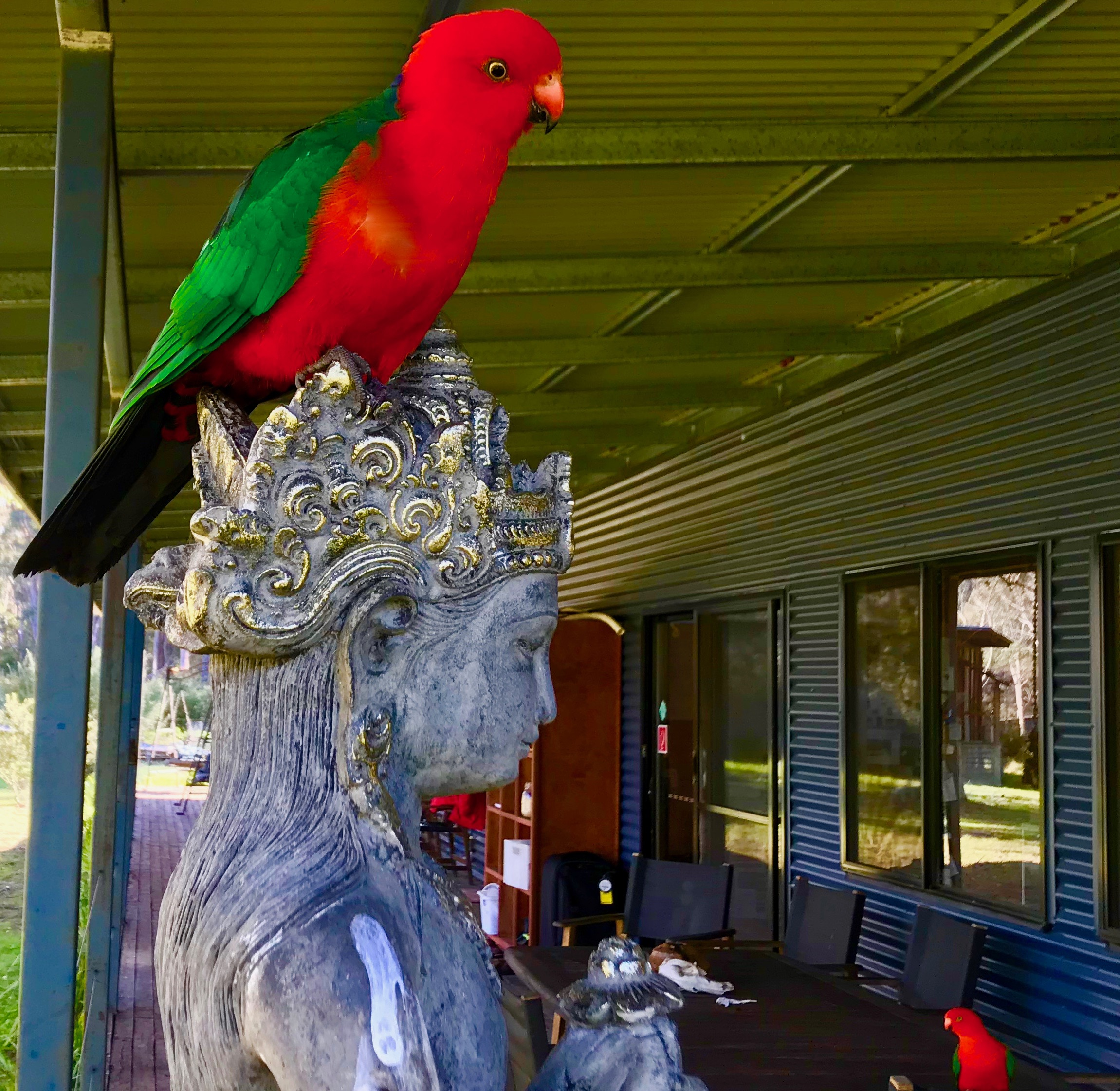 In the early morning Eastern Rosellas come to call...