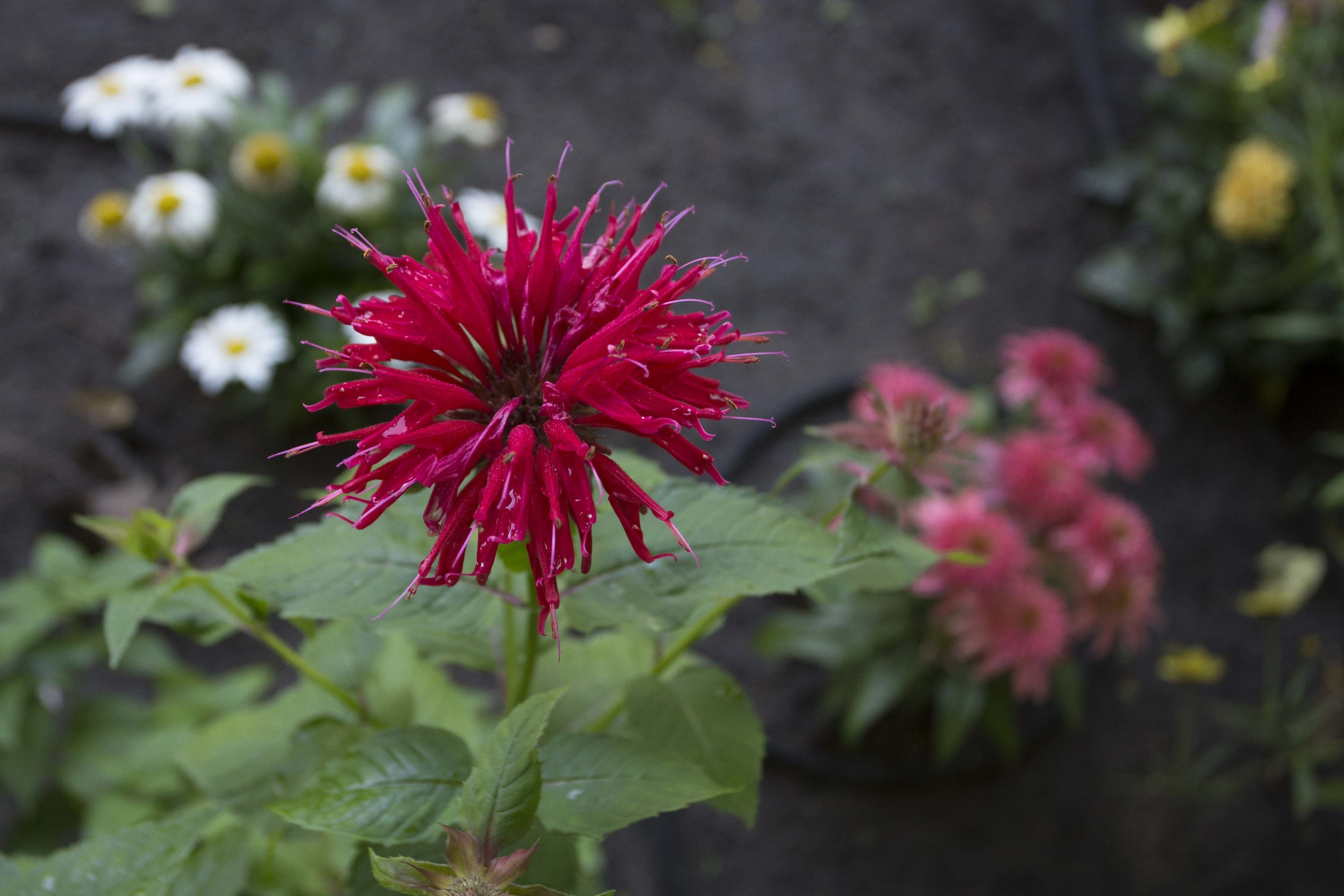 red beebalm