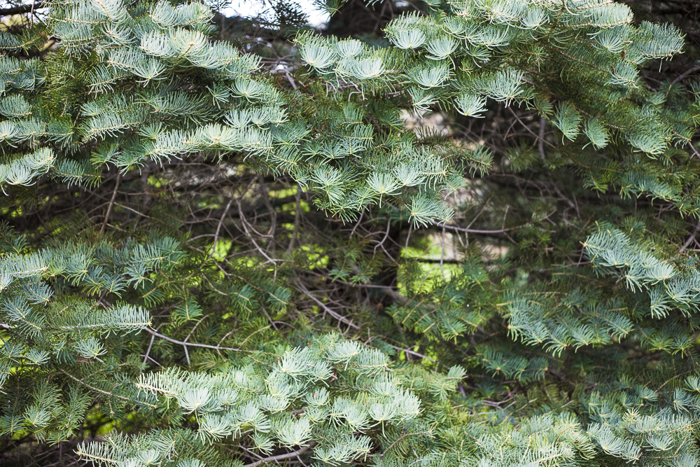 Evergreen tree boughs