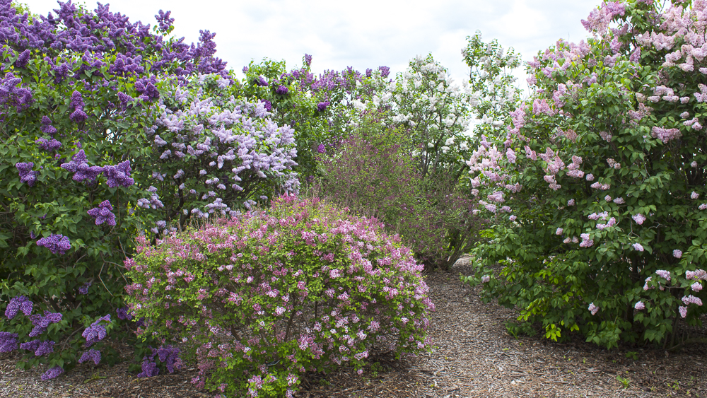Pink, purple, and white lilac bushes