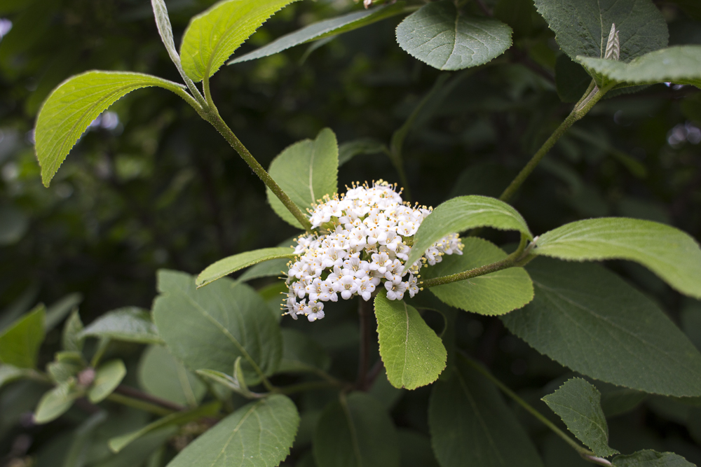 Small white flower buds on a juneberry tree