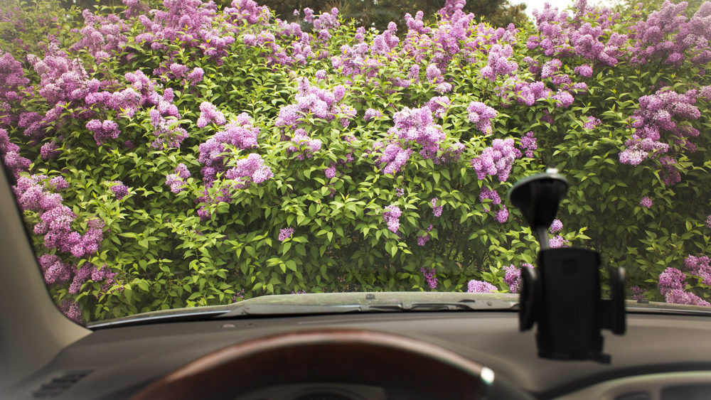 Lilac bushes through the windshield of my car