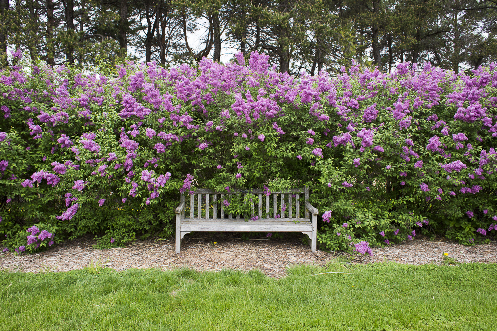 Tall lilac bushes overhanging a sitting bench