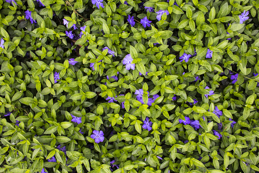 Dwarf periwinkle ground cover