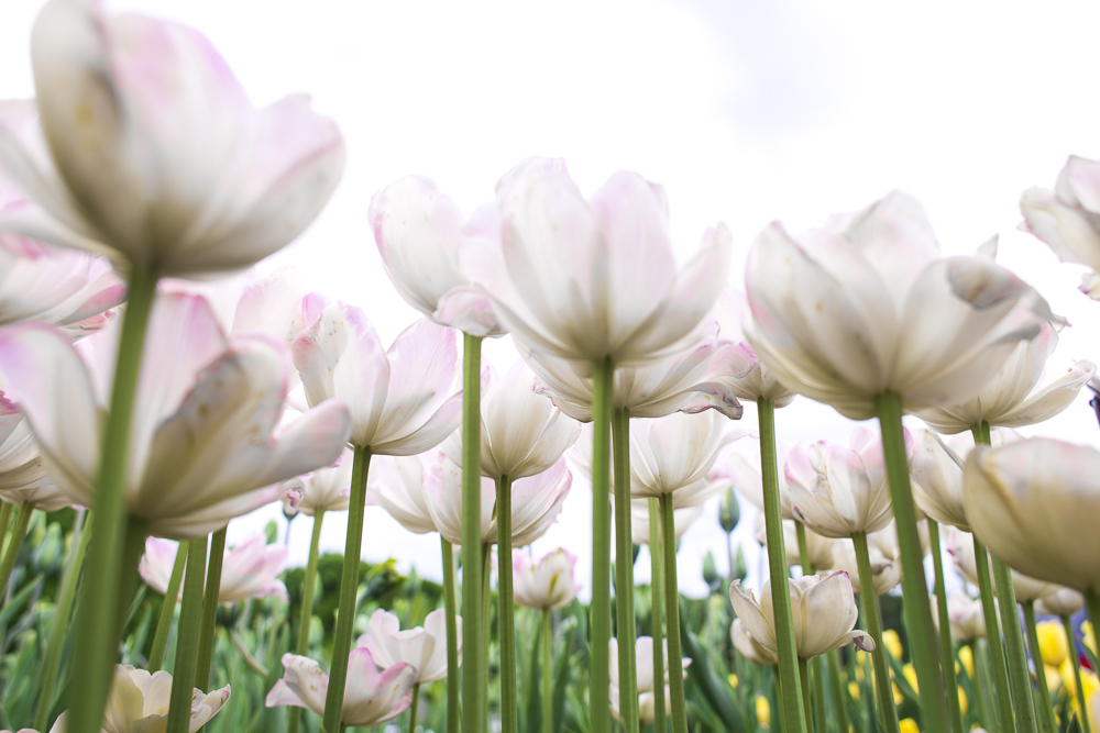 Light pink tulips growing towards the sky