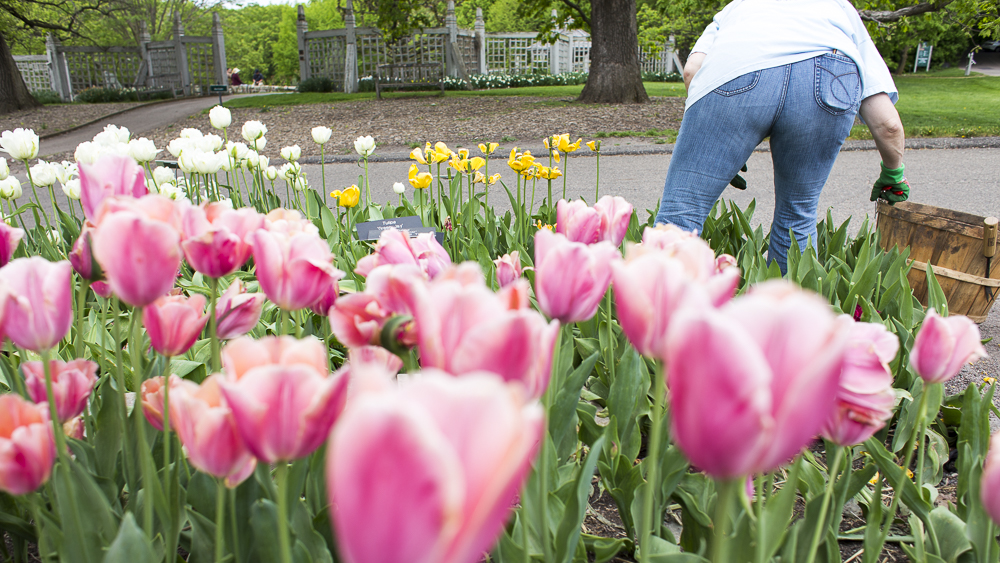 A volunteer helps dead head tulips from the annual garden