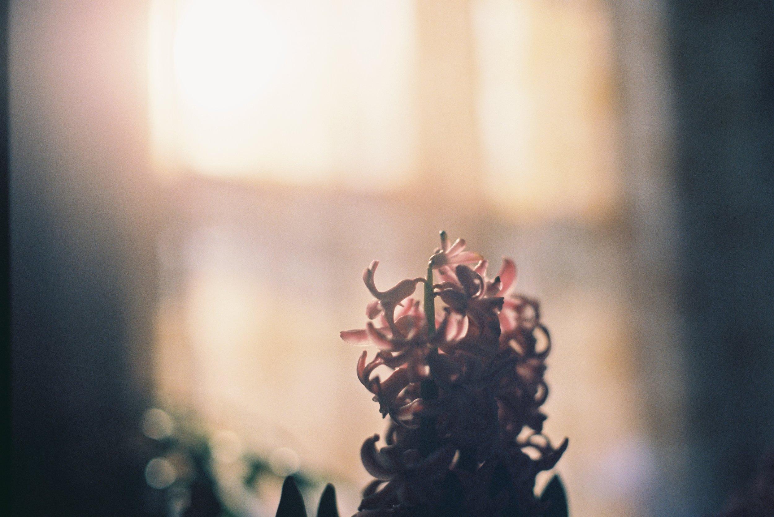 Hyacinth - Canon AE-1p on Ektar 100
