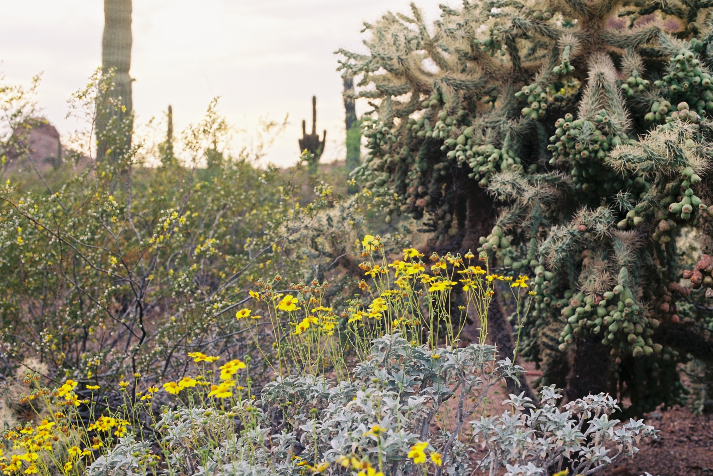 Heavy, fruit-bearing cactus on the right, paired with brittlebush (the yellow flowers)