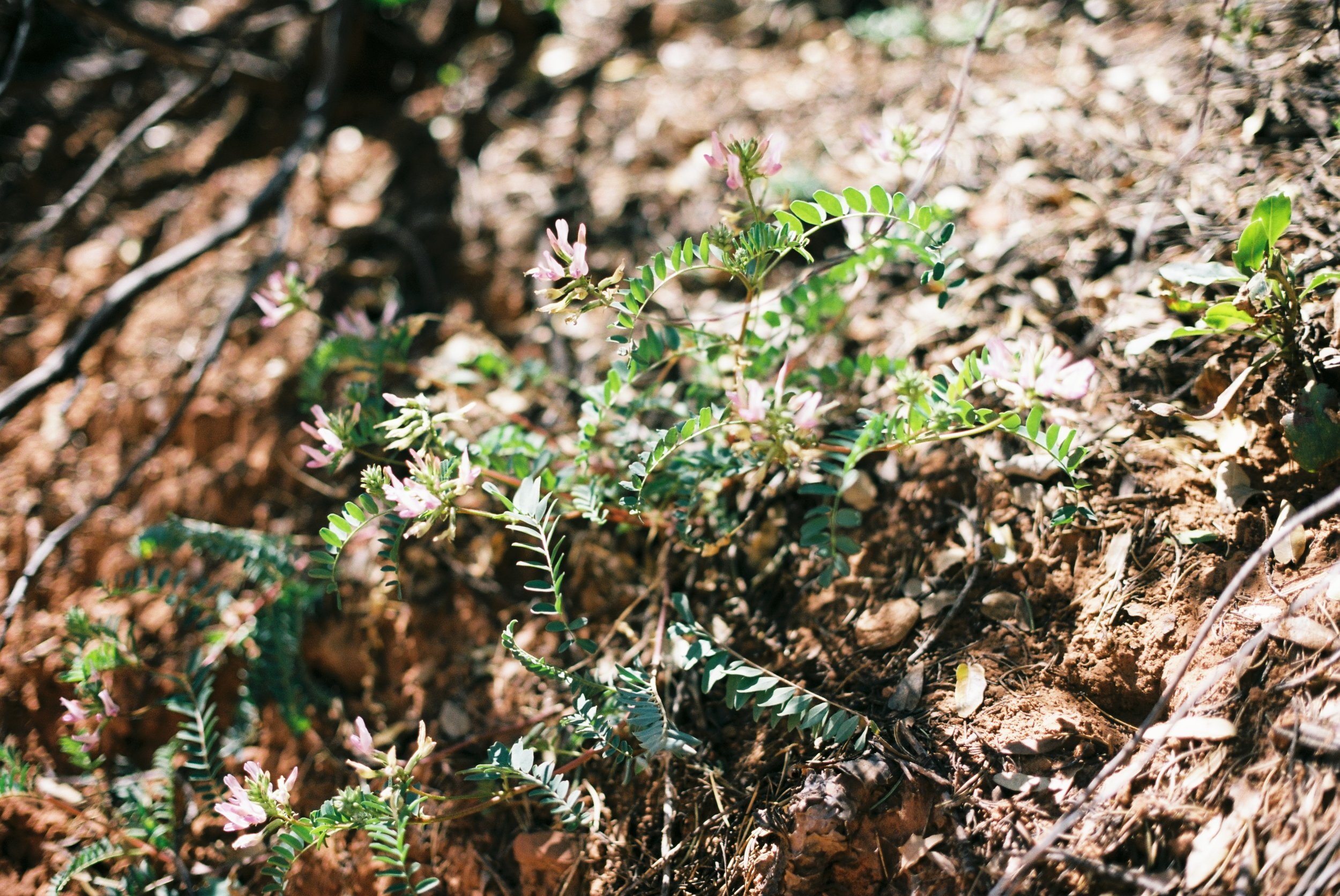 Forest floor flora, Sedona