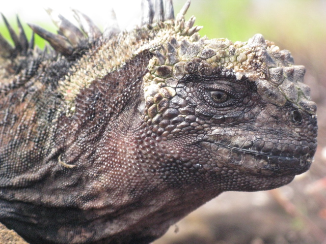 A marine iguana, found only in the Galapagos Islands, is the only marine reptile able to forage under water