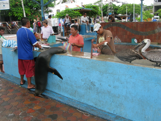 A cheeky sea lion begs for scraps the the fish market in Puerto Ayora