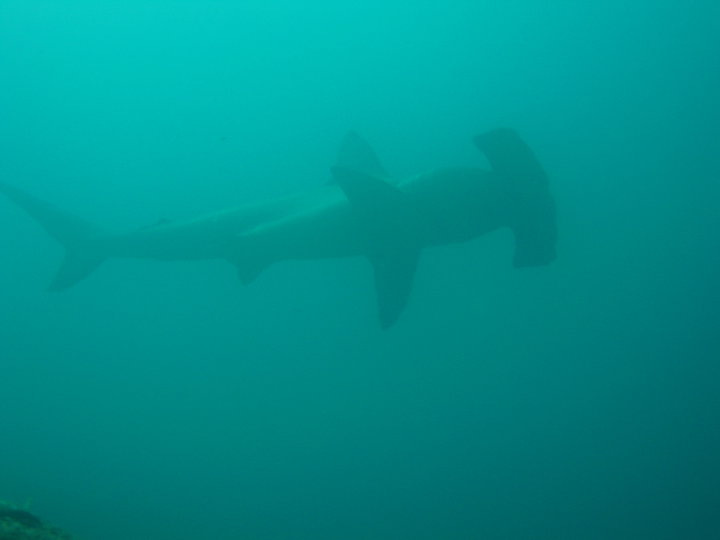 Hammer head sharks gather in large numbers around the Galapagos Islands during certain times of the year