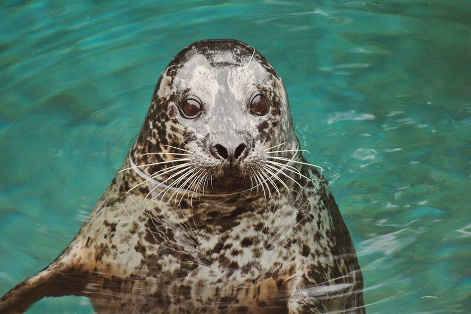 Harbor Seal - Point Defiance Zoo & Aquarium