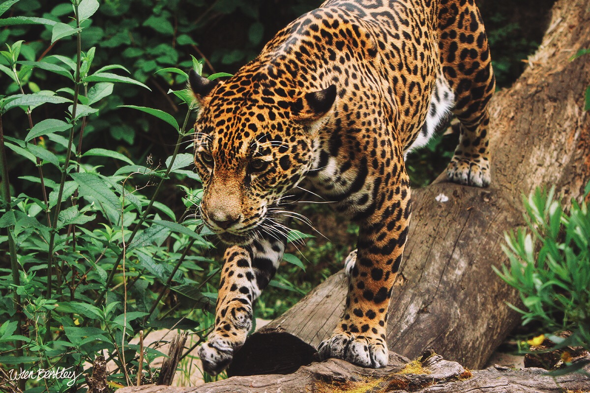 Jaguar - Woodland Park Zoo