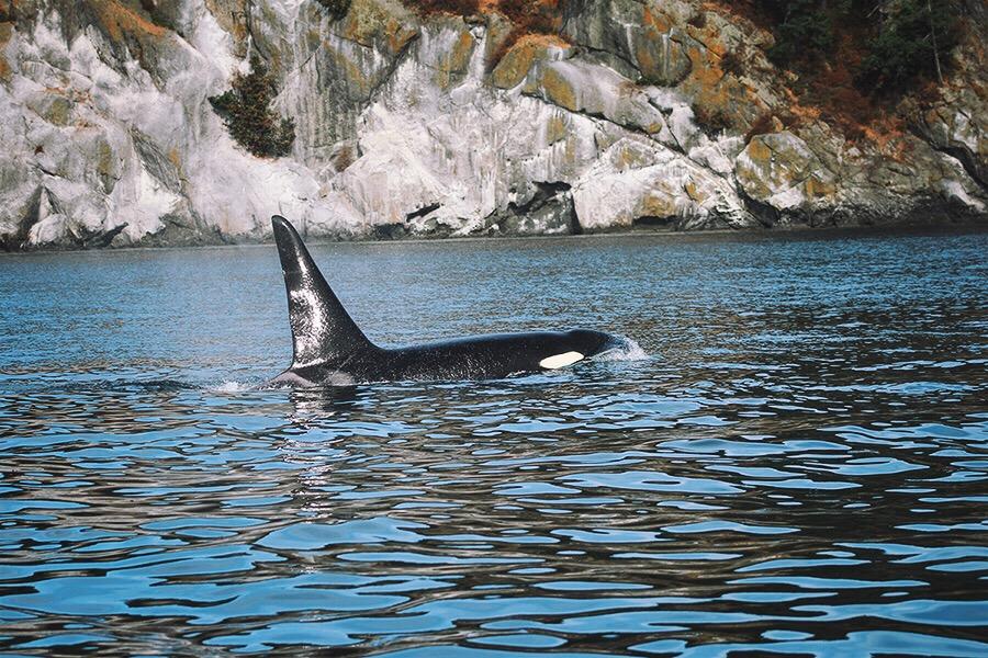 Wild Orca - Orcas Islands
