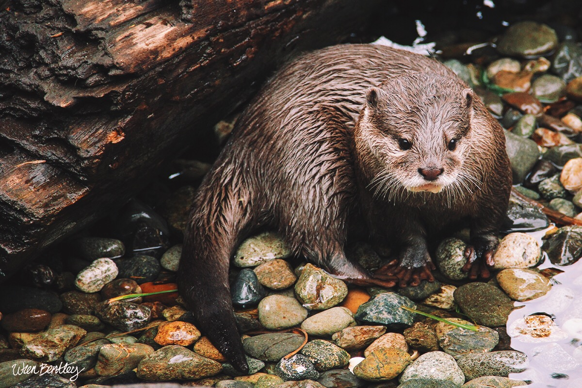 Asian Small-clawed Otter - Woodland Park Zoo