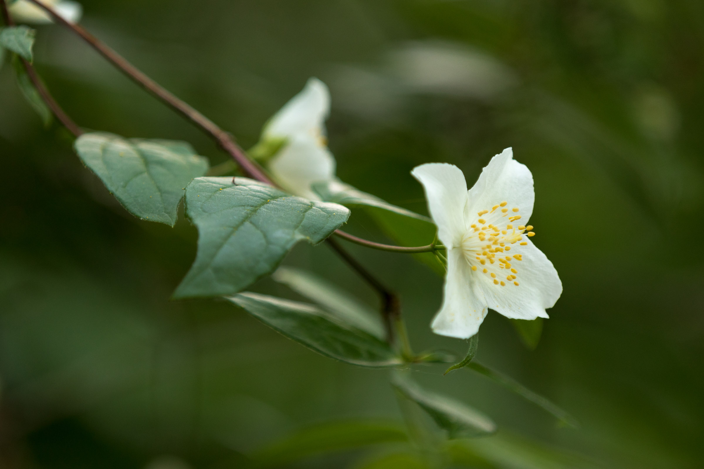 Philadelphus | Reid Burchell Photography