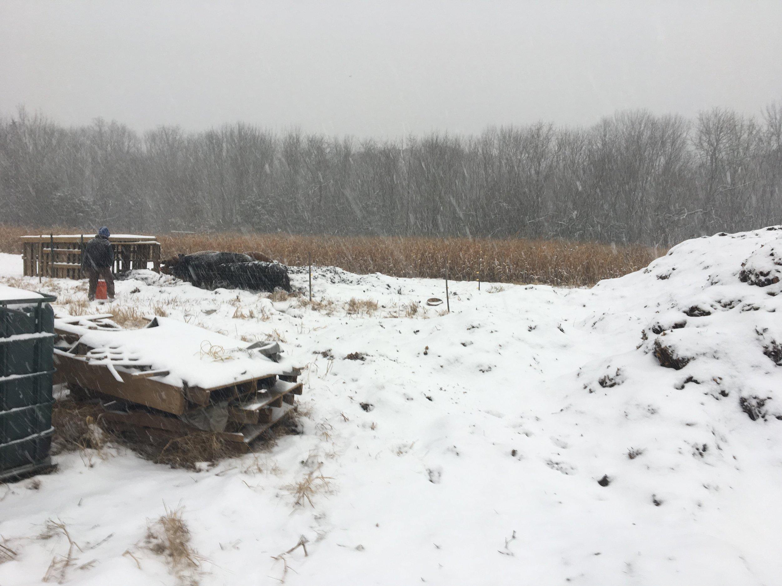 18 pic wk 24 - snow & pigs.JPG
