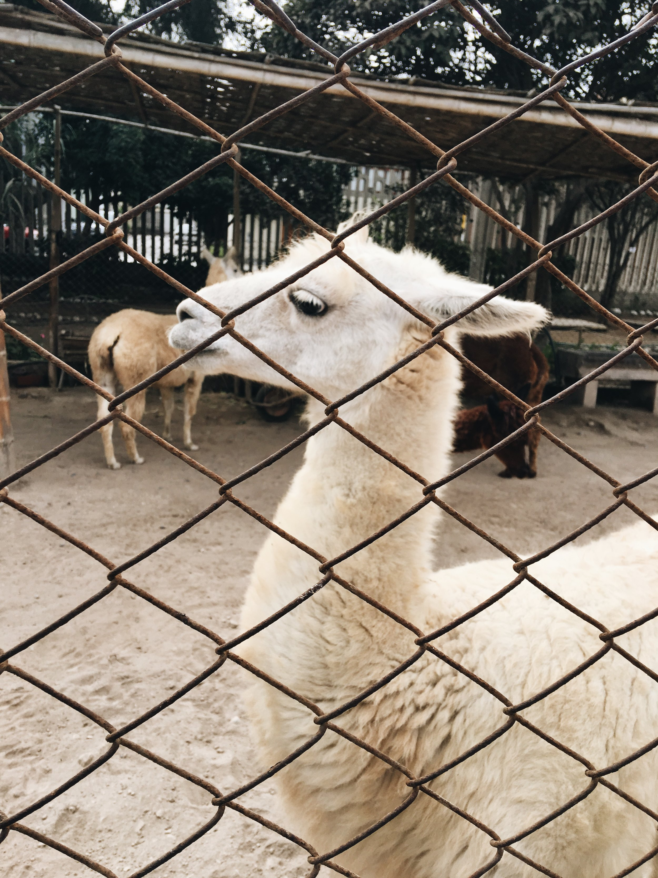 {never guessed we'd be seeing so many llamas in Peru, right? haha}