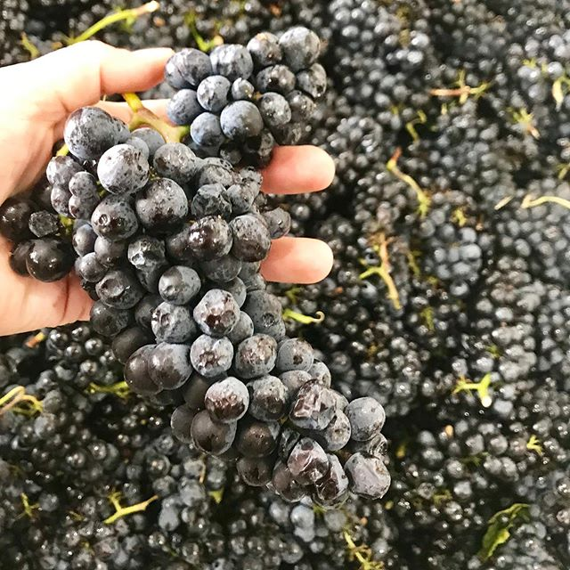Harvest is in full swing! Winemaker and owner @yontoallison got to play with 🍇 today- her favorite days.