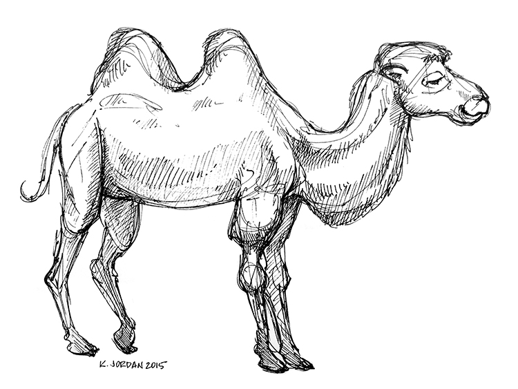Bactrian Camel at Lincoln Park Zoo