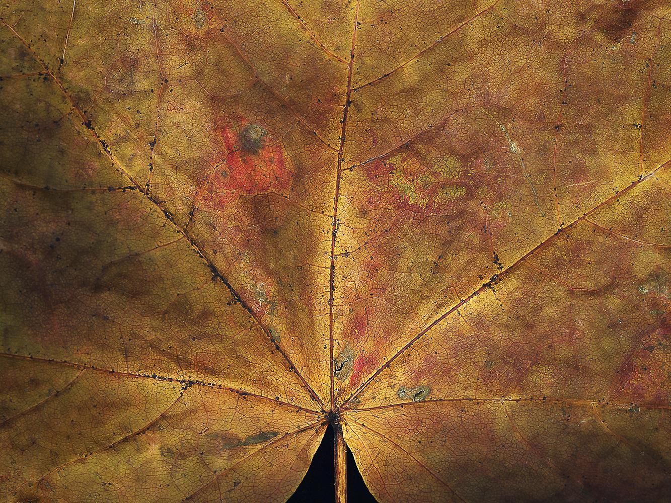 sycamore-leaf-(1-of-1).jpg