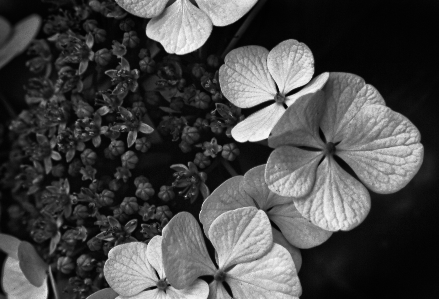 Lacecap hydrangea_A_86_1 .jpg