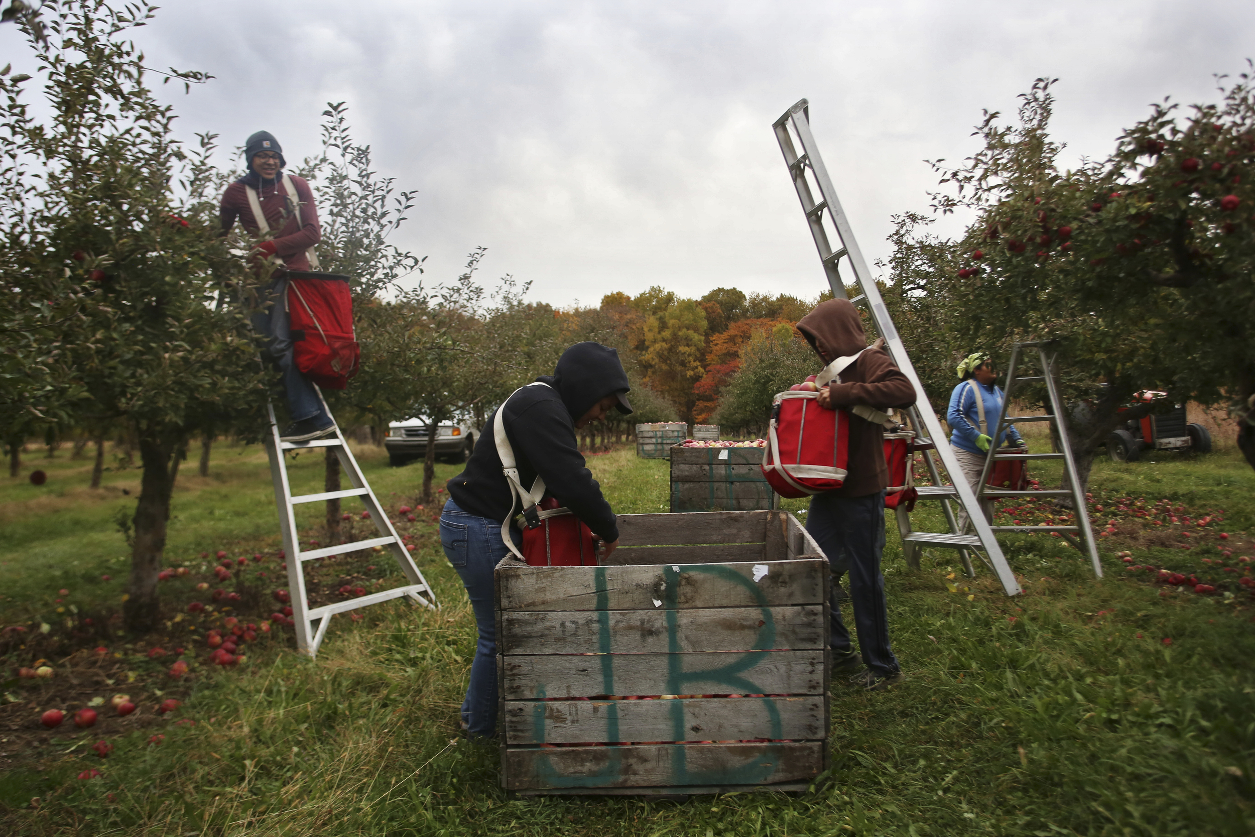 The Jurado family works seven days a week during apple harvesting season picking apples at Uncle John's Cider Mill. The children, as young as 13 years old, pick apples every day after school until dark,while the parents pick all day.
