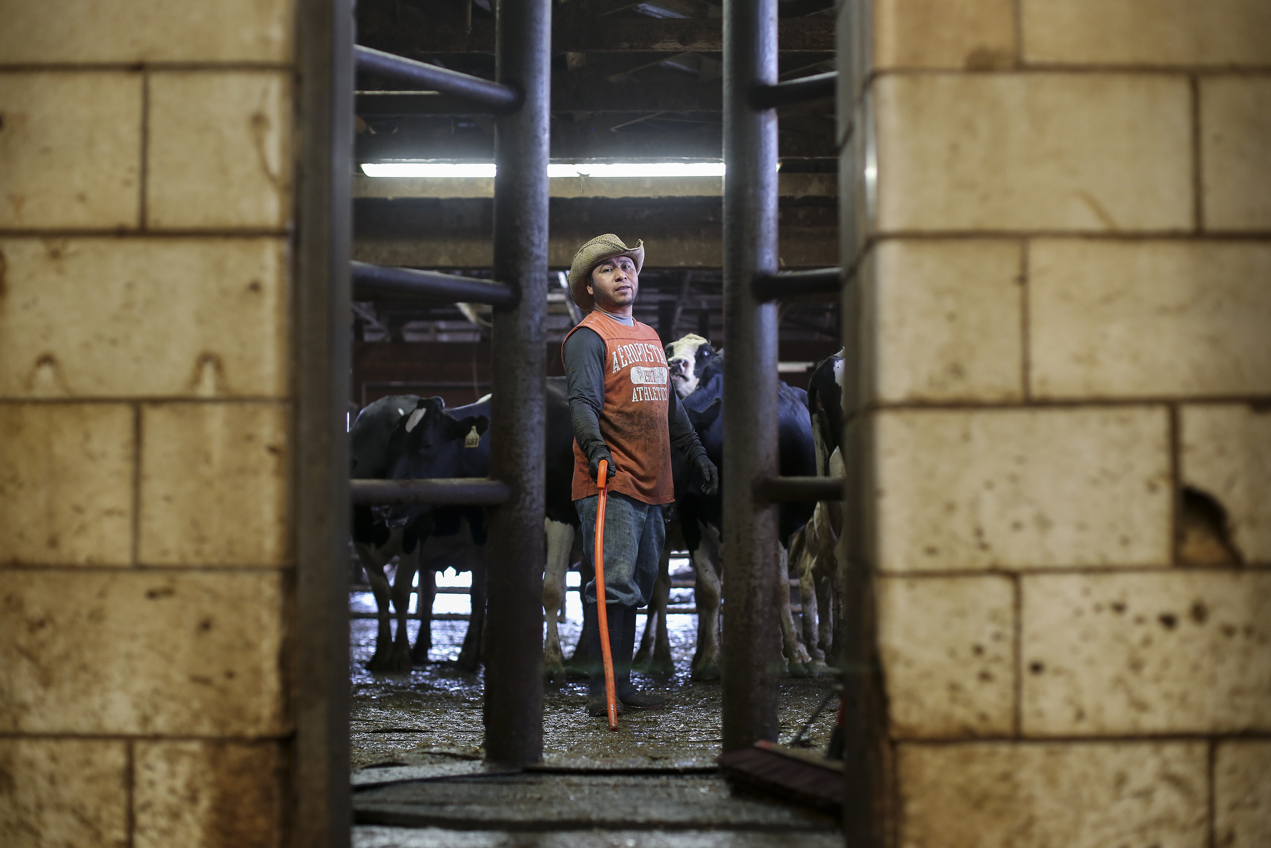 """Alberto yells from the cow holding pen asking Victor how many more cows they need for the twenty station parlor. While at home he explained that his father is a surgeon in Salina Cruz, Mexico. """"I send my parents $1,200 every time I get paid. We make three times as much money here in America than we did in Mexico, but things are more expensive here. I work more hours here but I am happy, I sing all the time, even if I'm not good at it,"""" he said."""