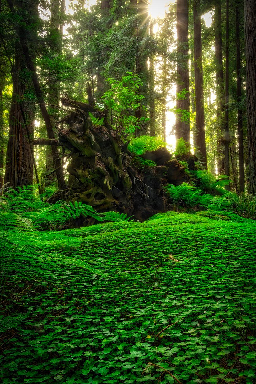 04_Redwoods Clover_v2_HDR_1Kpx.jpg