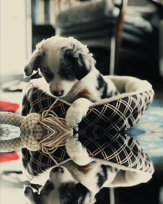 """This weekend has been far too short. I demand 3 day weekends immediately or else I'm gonna start seeing double!"" (@miss_skylerblue) . . . #skylerblue #sky #miniaussie #miniaustrailianshepherd #austrailiansheperd #puppy #pup #pupsofinstagram #dog #dogsofinstagram #aussiesofinstagram #goodgirl #bestgirl #bestfriend #doggo #sass #sassypuppy #okiedog #oregondog #dawg #stumptownpup #skybluesky #aussiesdoingthings #puppyfun #weeklyfluff #dogdad #happypuppy #bestlife"