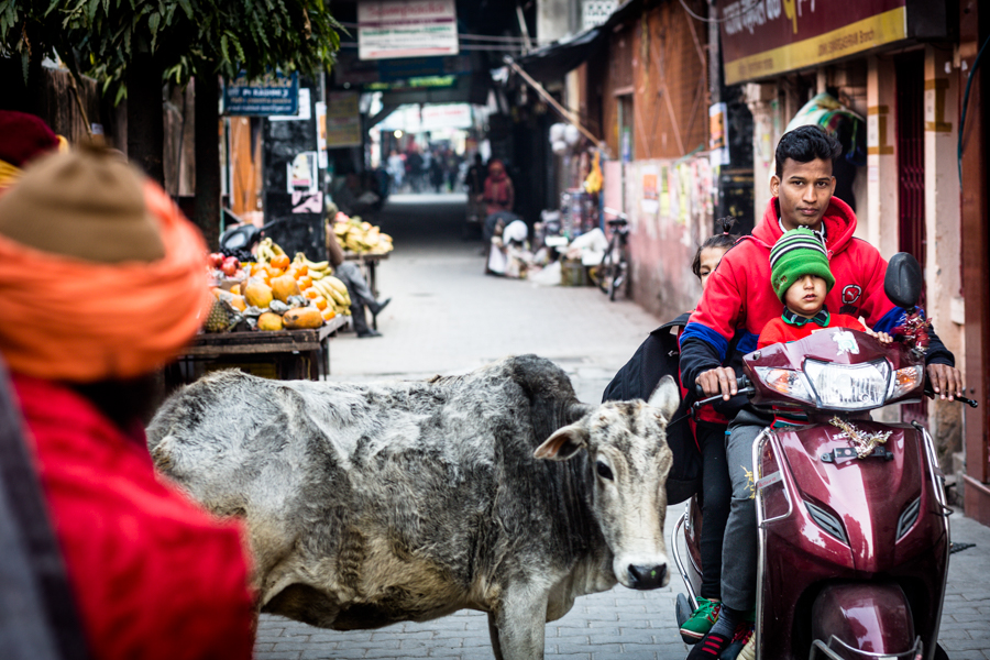 Cows, motorists, and pedestrians compete for space in the narrow streets.
