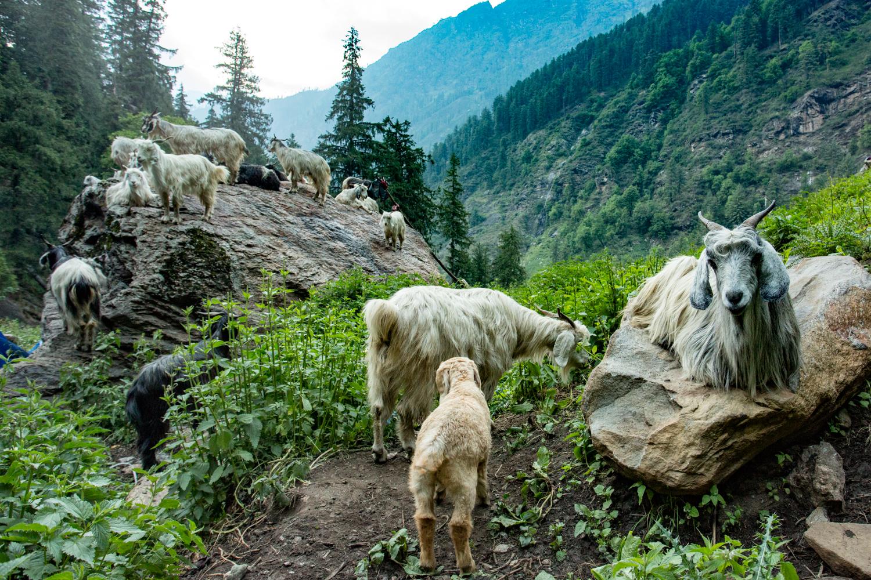 Mountain goats resting alongside the Kheerganga trail.