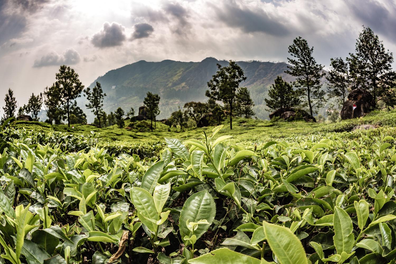 Tea Plantation, Munnar, Kerela