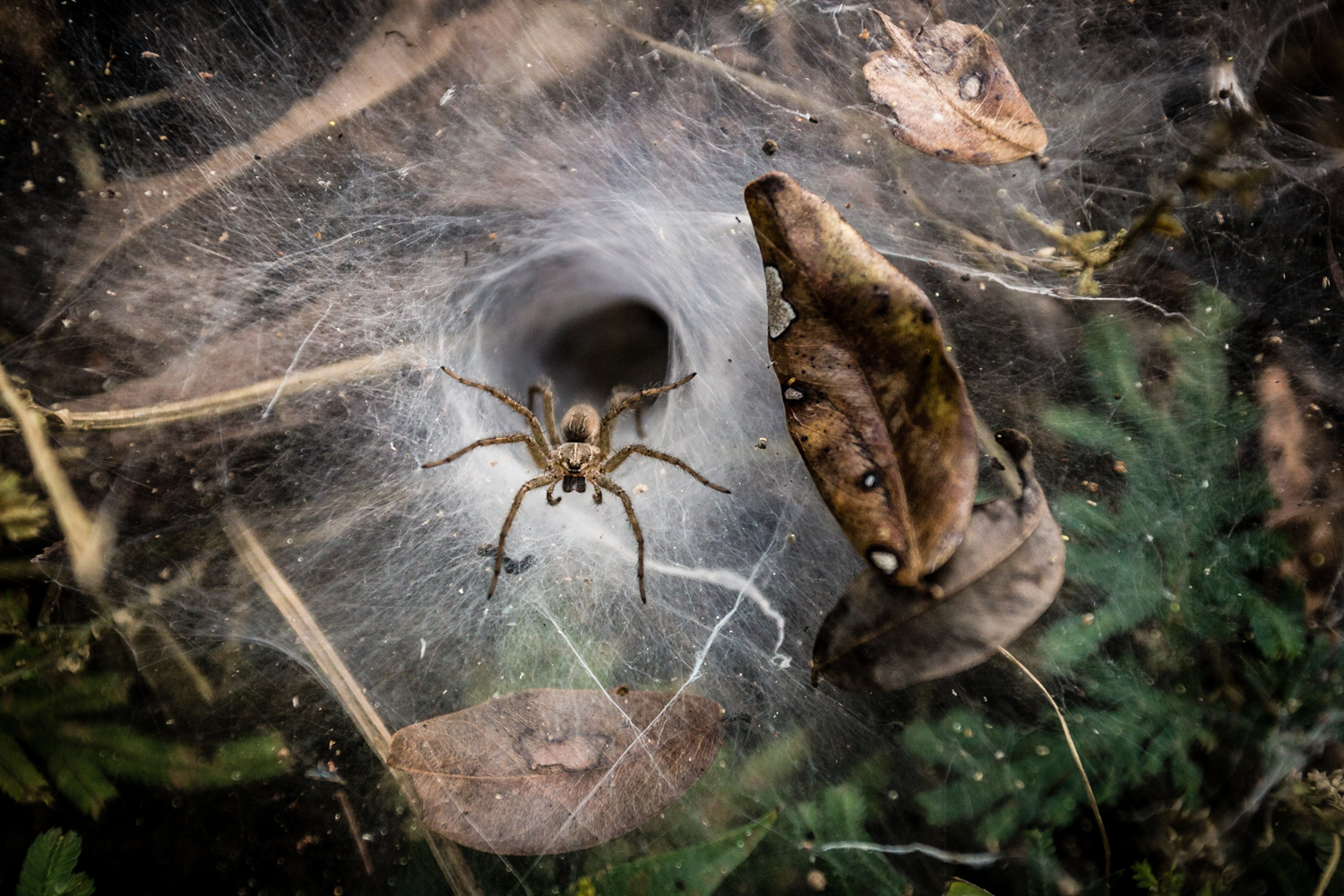 These funnel-web spiders are common throughout Laos.