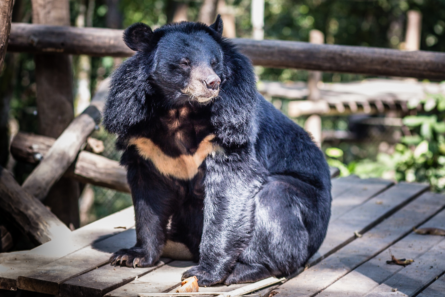 The Asiatic Black Bears Rescue Center shelters bears rescued from poachers.