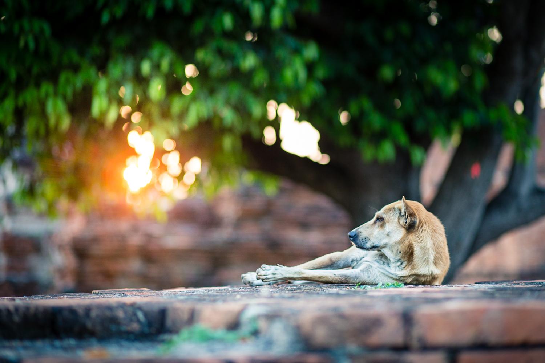Tourists visiting Wat Phra Si Sanphet pique a dog's curiosity.