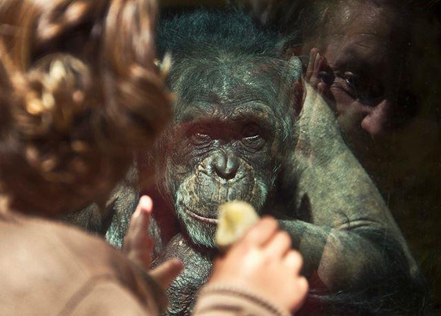 Photographer: Iñigo Echenique @allthesehumans Normandía (2013) #travel #allthesehumans #aow #animal #gorilla